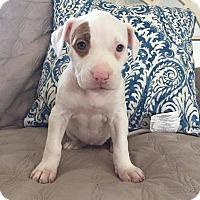 Adopt A Pet :: Marsha - Greensboro, NC