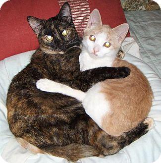 Domestic Shorthair Kitten for adoption in Pittstown, New Jersey - Eli