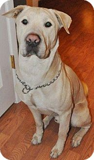 Labrador Retriever/Shar Pei Mix Dog for adoption in Gilbert, Arizona - Kino
