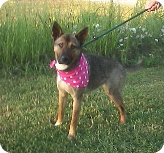 Shepherd (Unknown Type)/Keeshond Mix Dog for adoption in Glastonbury, Connecticut - SHEBA/Summer Special Pricing