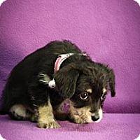 Adopt A Pet :: Brunhilde - Broomfield, CO