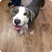 Adopt A Pet :: Blue - San Antonio, TX