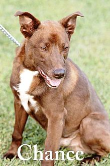 Labrador Retriever Mix Dog for adoption in Transfer, Pennsylvania - Chance