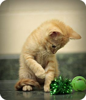 Domestic Shorthair Kitten for adoption in Marietta, Georgia - Calsifer