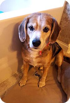 Beagle Mix Dog for adoption in Savannah, Georgia - Ellie 2