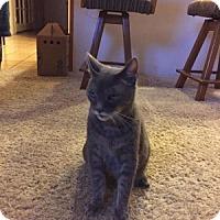 Domestic Shorthair Cat for adoption in Encinitas, California - Kitter (Courtesy Listing)
