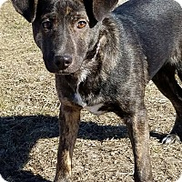 Adopt A Pet :: Gillie - Macomb, IL
