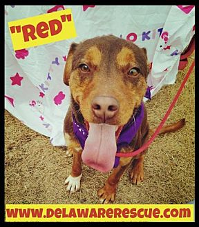 Hound (Unknown Type)/Labrador Retriever Mix Dog for adoption in Seaford, Delaware - Red