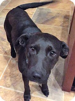 Labrador Retriever Mix Dog for adoption in Englewood, Colorado - Randa