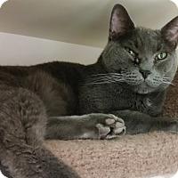 Adopt A Pet :: Shadow - St. Louis, MO