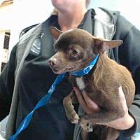Chihuahua Mix Dog for adoption in San Bernardino, California - URGENT on 4/21 SAN BERNARDINO