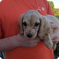 Adopt A Pet :: Shelby - Washington, DC