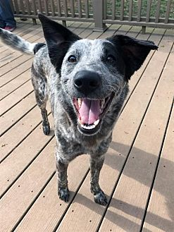 Cattle Dog Mix Dog for adoption in Fairfax Station, Virginia - Beyonce