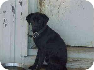 Pug/Labrador Retriever Mix Dog for adoption in Gladwin, Michigan - Pug/Lab Mix