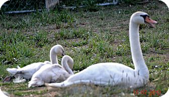 Swan for adoption in Indian Trail, North Carolina - Swans a swimming...