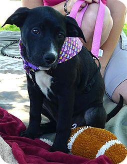Labrador Retriever/Border Collie Mix Puppy for adoption in Sacramento, California - Rosie cutest family pup