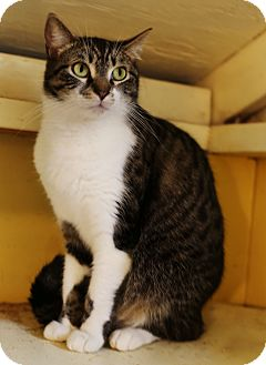 Domestic Shorthair Cat for adoption in Redondo Beach, California - Maya