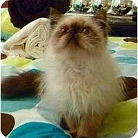 Adopt A Pet :: Snap - Beverly Hills, CA