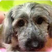 Adopt A Pet :: Bella - pasadena, CA