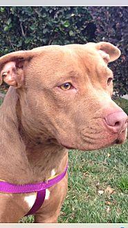Pit Bull Terrier Dog for adoption in Sacramento, California - Ginger