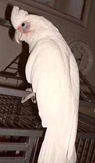 Cockatoo for adoption in Asheville, North Carolina - PIPPIN