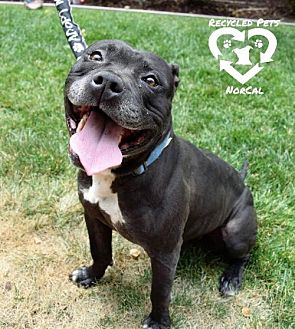 American Pit Bull Terrier Mix Dog for adoption in Sacramento, California - Hank
