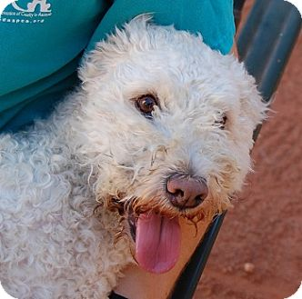 Poodle (Miniature)/Terrier (Unknown Type, Small) Mix Dog for adoption in Las Vegas, Nevada - Tanner
