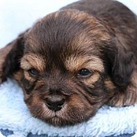 Adopt A Pet :: Dorie - La Costa, CA