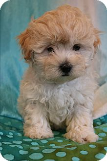 Shih Tzu/Poodle (Miniature) Mix Puppy for adoption in Hagerstown, Maryland - Spooky