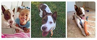 Australian Cattle Dog Mix Dog for adoption in Tucson, Arizona - Perdie