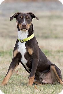 Australian Cattle Dog/Labrador Retriever Mix Dog for adoption in Broken Arrow, Oklahoma - Kylo