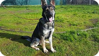 German Shepherd Dog Mix Dog for adoption in Chico, California - ROCKET