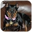Photo 1 - Miniature Pinscher Dog for adoption in Florissant, Missouri - NuNu