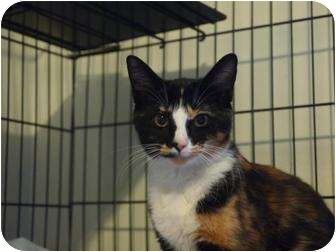 Calico Cat for adoption in Ocean City, New Jersey - Paisley