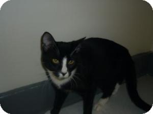 Domestic Shorthair Cat for adoption in Milwaukee, Wisconsin - Klondike