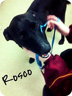 Labrador Retriever Mix Dog for adoption in Manassas, Virginia - Rosco