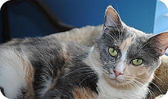 Calico Cat for adoption in Waxhaw, North Carolina - Juliette