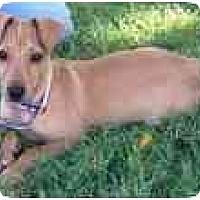 Adopt A Pet :: Carmello - Arlington, TX