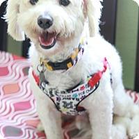 Adopt A Pet :: Palomino - Norwalk, CT
