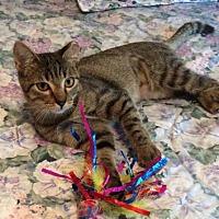 Domestic Shorthair Cat for adoption in San Antonio, Texas - Mia