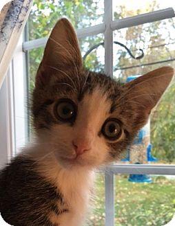 Domestic Shorthair Kitten for adoption in Wayne, New Jersey - Vance