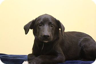 Labrador Retriever Mix Puppy for adoption in Waldorf, Maryland - Archie ADOPTION PENDING
