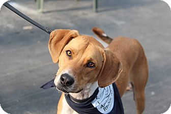Hound (Unknown Type) Mix Dog for adoption in Peace Dale, Rhode Island - Ben