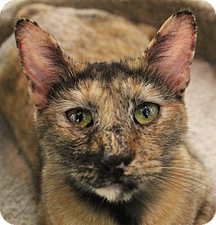 Domestic Shorthair Kitten for adoption in Winchester, California - Emily