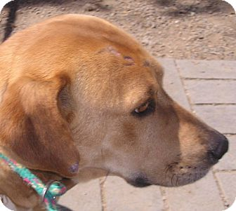 Labrador Retriever Mix Dog for adoption in San Diego, California - Darby URGENT