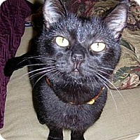 Domestic Shorthair Cat for adoption in Los Angeles, California - Roxie