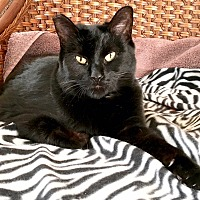Adopt A Pet :: Wanda The Wonder(ful) Cat - Tucson, AZ