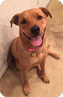 American Pit Bull Terrier/Labrador Retriever Mix Dog for adoption in Tucson, Arizona - Leah