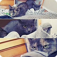 Domestic Shorthair Cat for adoption in Brampton, Ontario - Cleo
