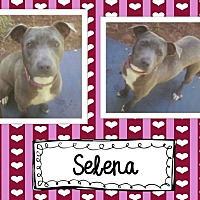 American Pit Bull Terrier Mix Dog for adoption in Graford, Texas - Selena